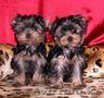 2 йоркширских щенков для продажи, ., .............